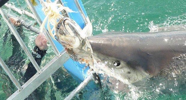"""Mossel Bay Shark Diving"""