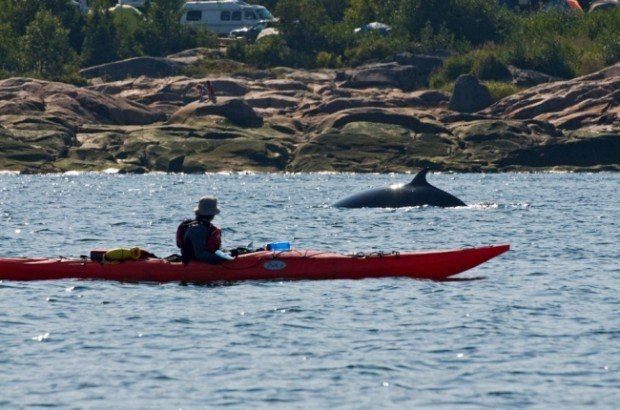 """""""Whale Kayaking Canada"""""""