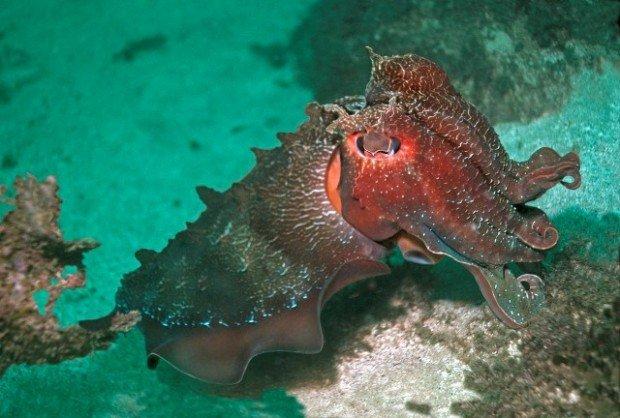 """Cuttlesfish, Diving"""