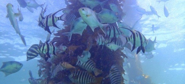 """Fish under Port Noarlunga Jetty"""