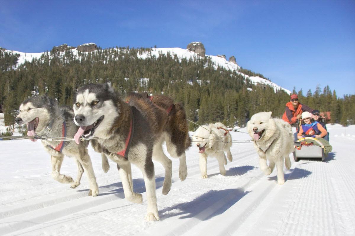 dog sledding in california heavenly south lake tahoe usa