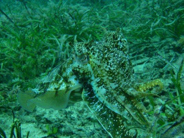 """""""Scuba Diving, Cuttlefish"""""""