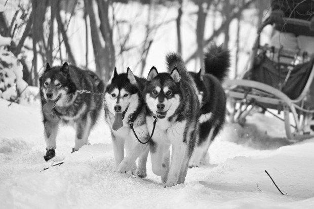 """""""Ski Bromont Dog Sledding"""""""