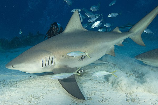 """Shark diving at Bull Shark Spot"""