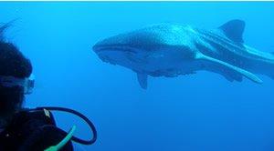 """Shark Diving at Sea of Cortez"""
